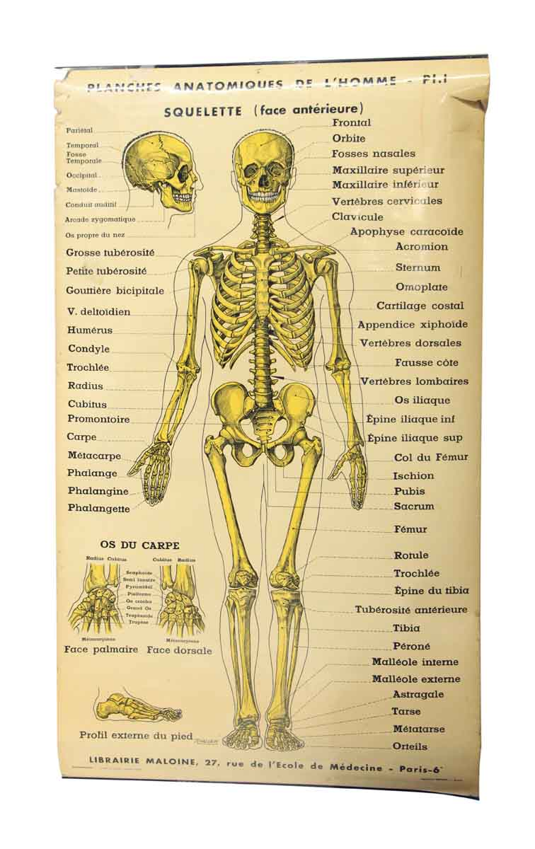 French Double Sided Human Skeleton Poster Olde Good Things