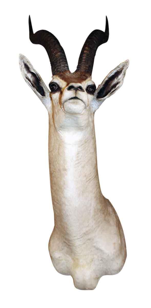 Thomson Gazelle Taxidermy