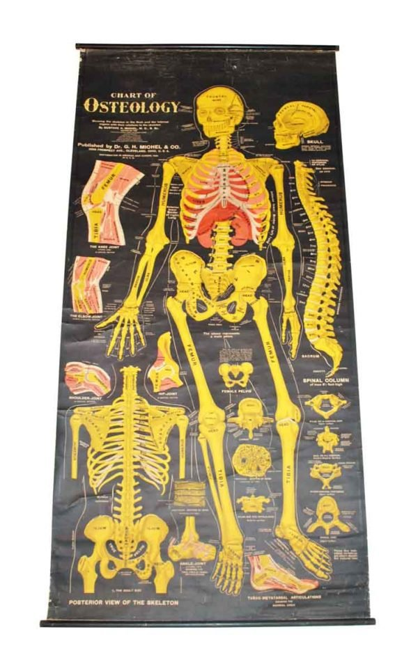 Chart of Osteology