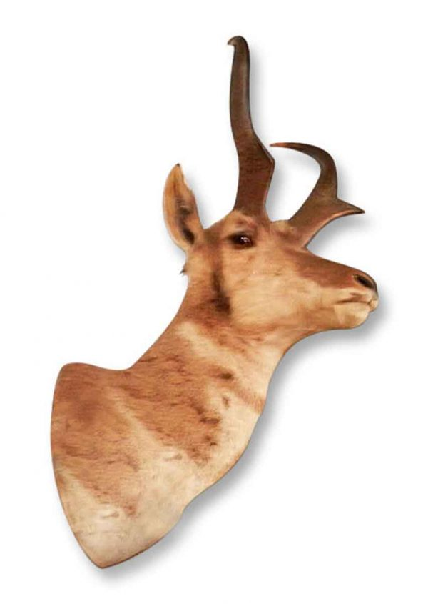 Springbok Head
