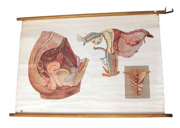 Posters - Vintage Anatomy Imported School Poster