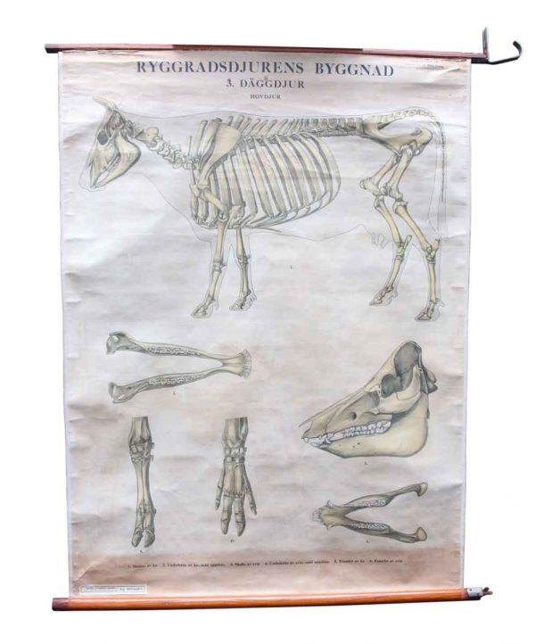 Posters - Vintage Bovine Skeleton School Poster