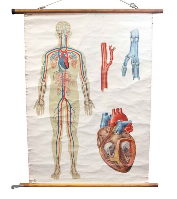 Posters - Vintage Imported Anatomy School Poster