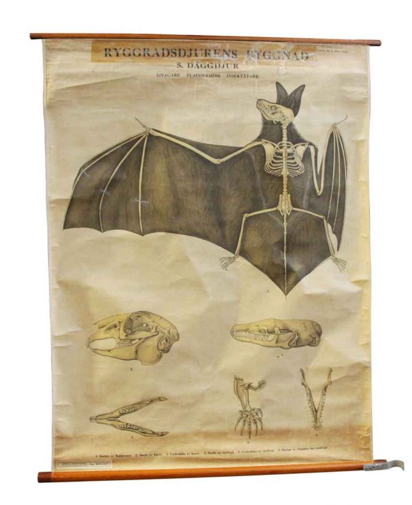 Posters - Vintage Imported Bat Skeleton School Poster