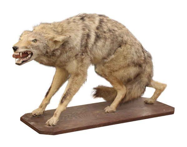 Taxidermy - Coyote Taxidermy