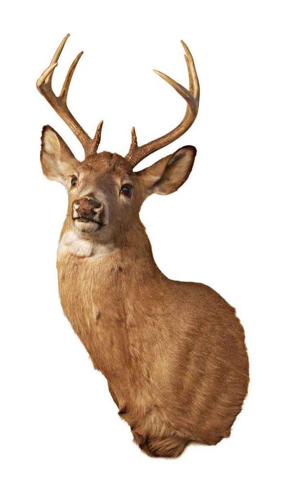 Taxidermy - 8 Point Whitetail Buck Head